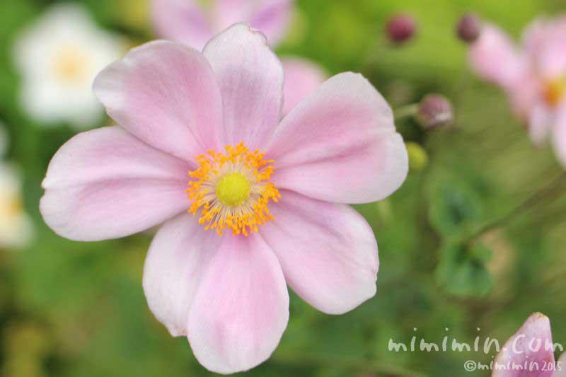 ピンク色の秋明菊(シュウメイギク)の写真