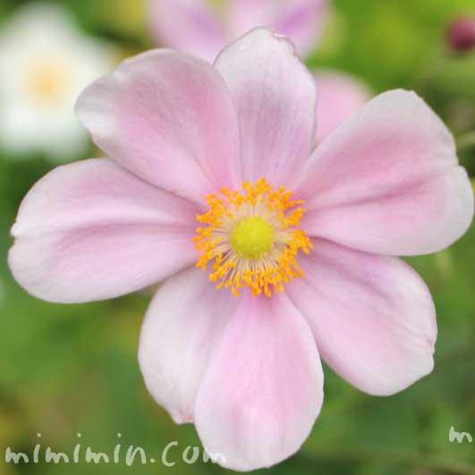 秋明菊(ピンク)の画像