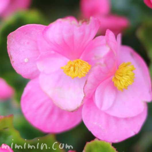 ベゴニア(ピンク色)の画像