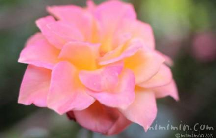 バラ(ピンクと黄色のグラデーション)の写真