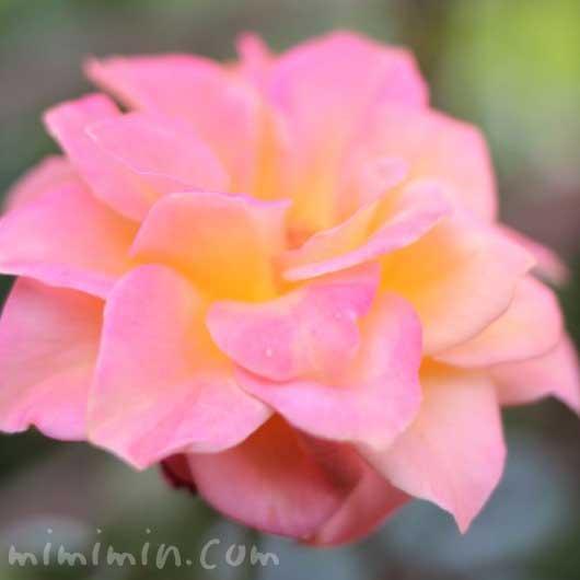 バラ(ピンク×黄色)の画像