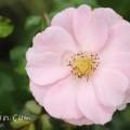 薔薇(薄いピンクの一重咲きのバラの花)の写真