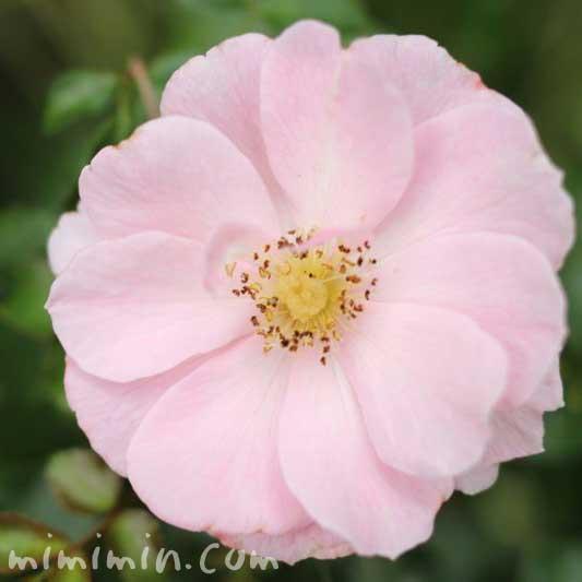 薔薇(薄いピンクの一重咲きのバラ)の写真