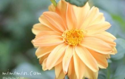 ダリアの花(薄いオレンジ)の写真