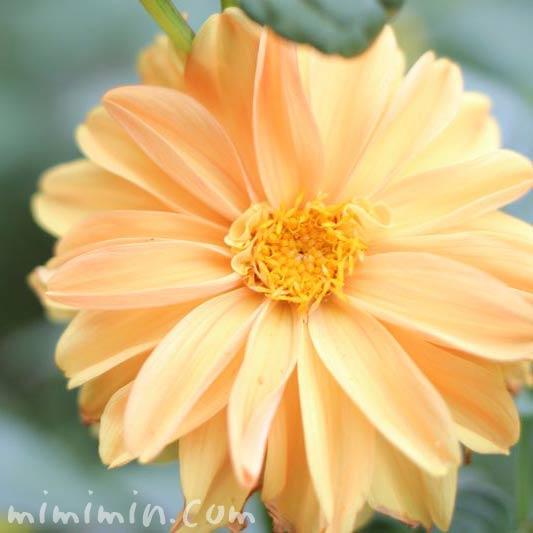 ダリア(薄いオレンジ)の画像
