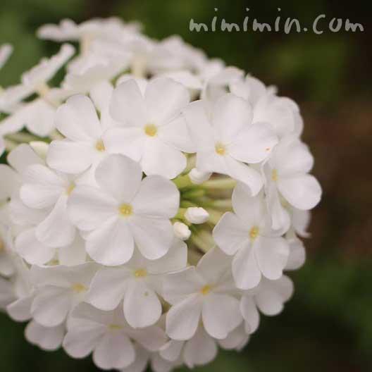 オイランソウの花(白)の画像