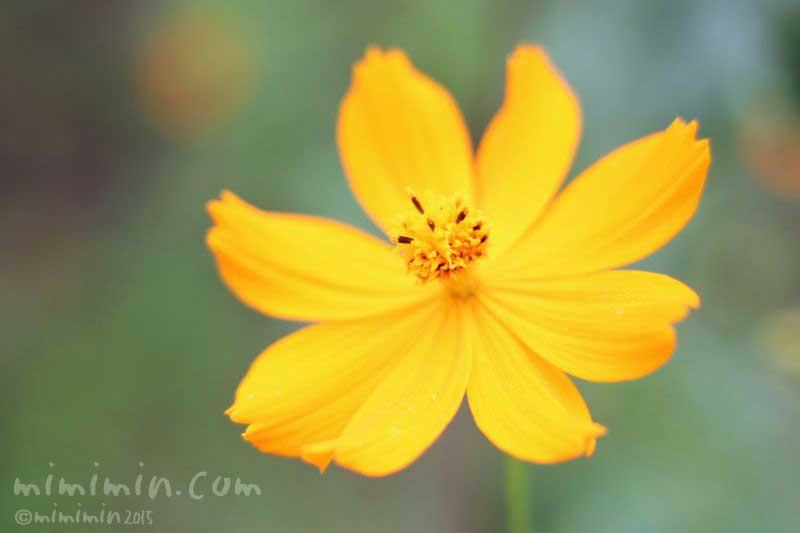 キバナコスモス(黄花コスモス)の写真