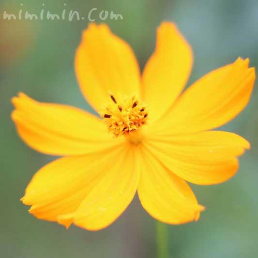 キバナコスモス(黄花秋桜)の画像