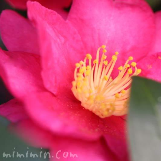 サザンカ・濃いピンクの画像