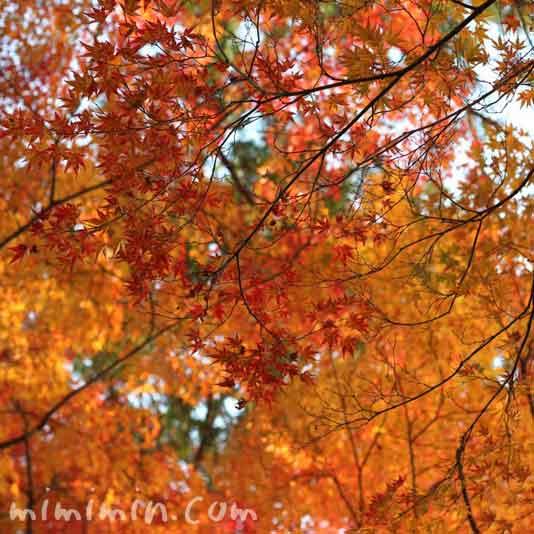 京都 東福寺の紅葉の画像