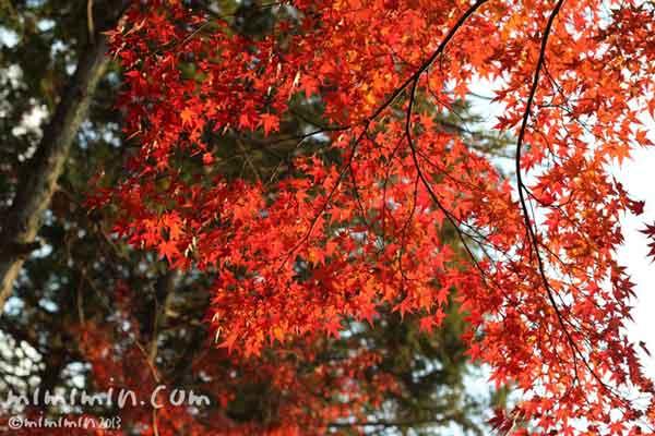 赤いモミジ(東福寺)の写真