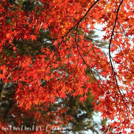 赤いもみじ(東福寺)の画像