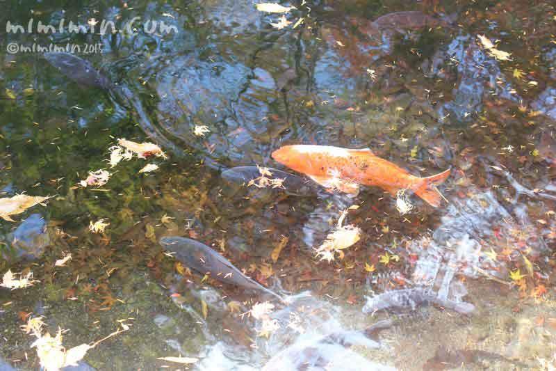 池の鯉の写真