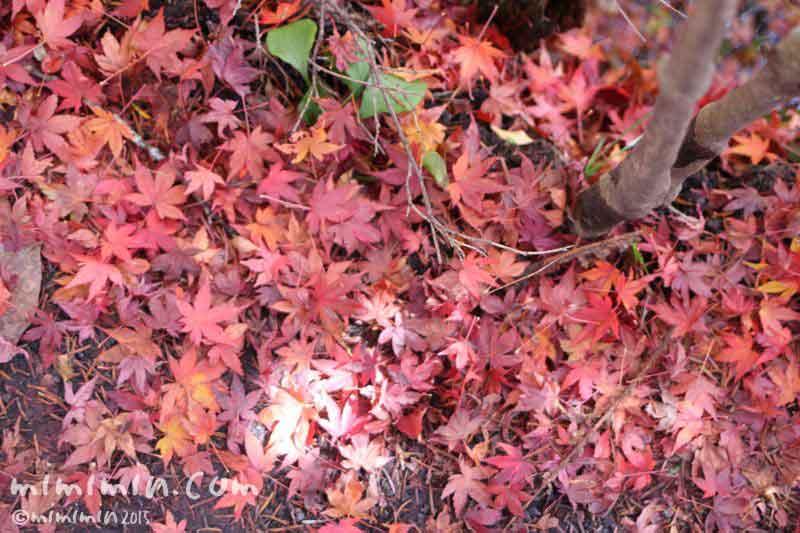 赤いモミジの落ち葉の写真