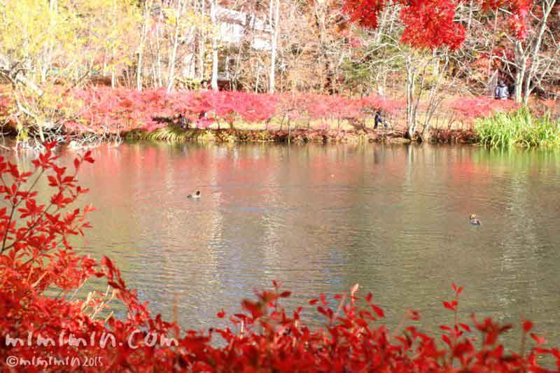 紅葉の雲場池の写真