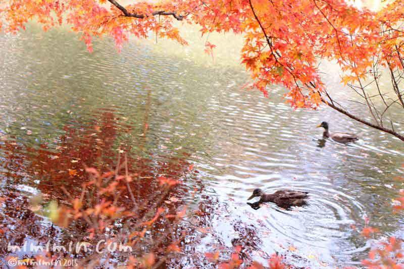 雲場池の鴨の写真