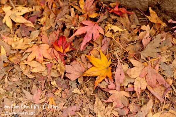 もみじの落ち葉の写真