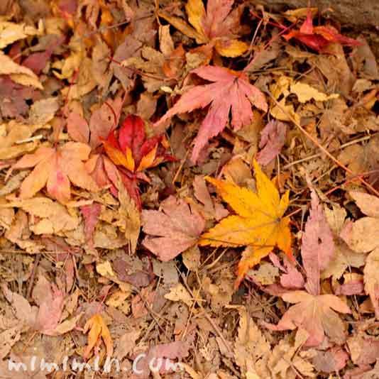 モミジの落ち葉の画像