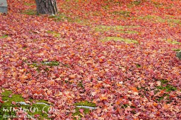 モミジの落葉の写真