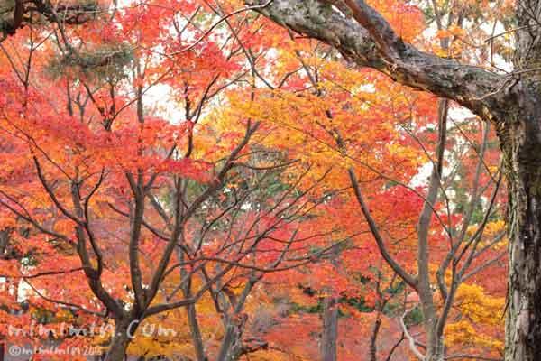 京都の東福寺の紅葉の画像