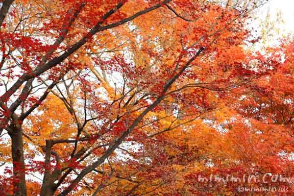 京都 東福寺の紅葉の写真