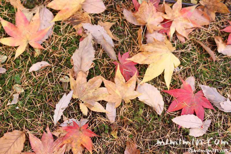 モミジの落ち葉の写真
