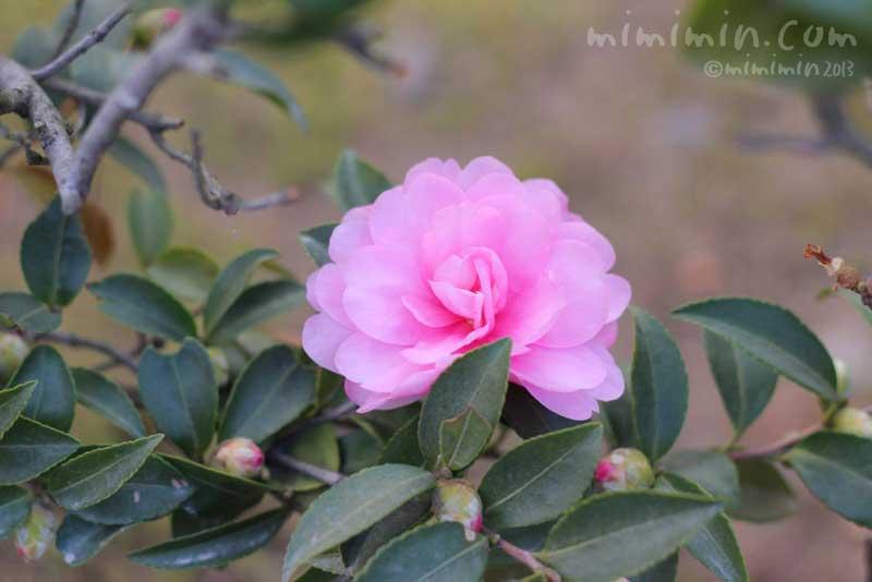 ピンク色のサザンカ(東福寺)