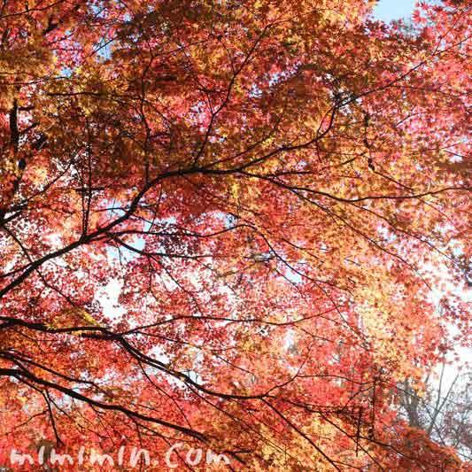 紅い紅葉の画像