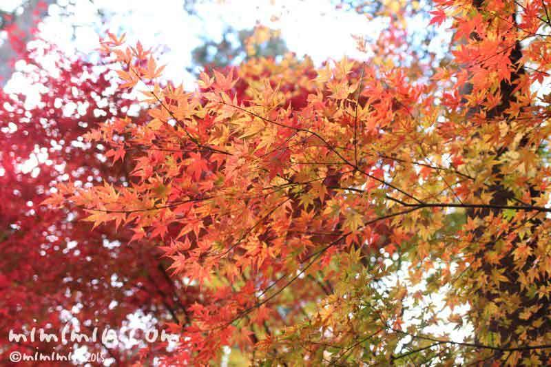 モミジ(軽井沢の紅葉)の写真