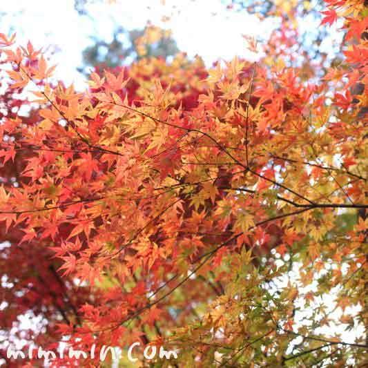 もみじの紅葉の画像