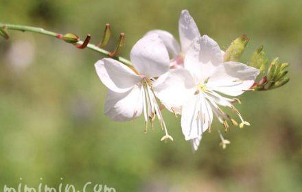 ガウラの花・白の写真