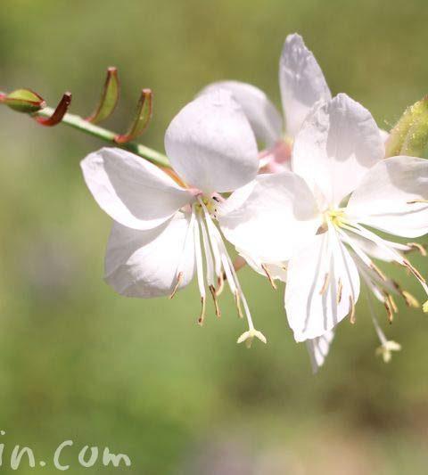 ガウラ(ハクチョウソウ)の花言葉&花の写真|白蝶草
