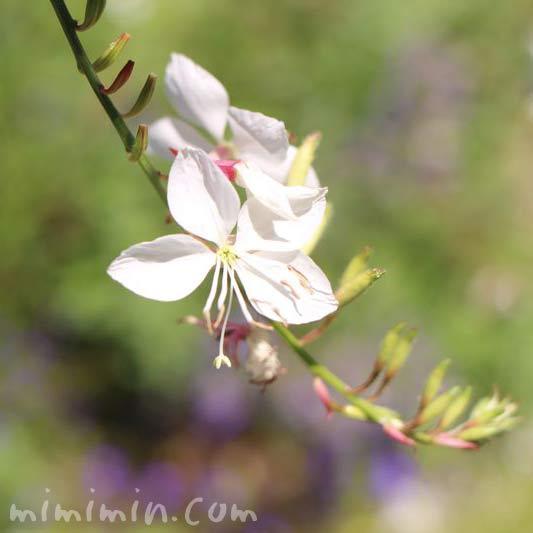 ハクチョウソウの白い花の画像