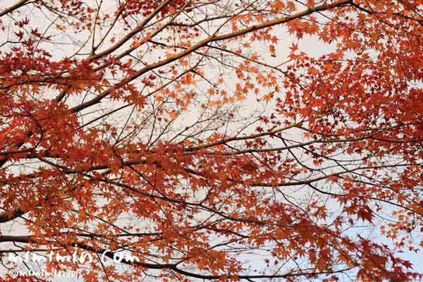 東福寺(京都)の紅葉の画像