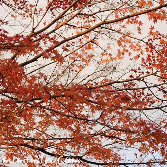 東福寺の紅葉の画像