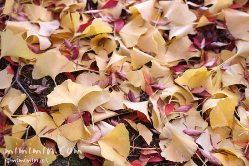 落葉した銀杏の葉の写真