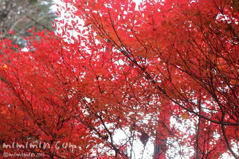 真っ赤な紅葉の画像