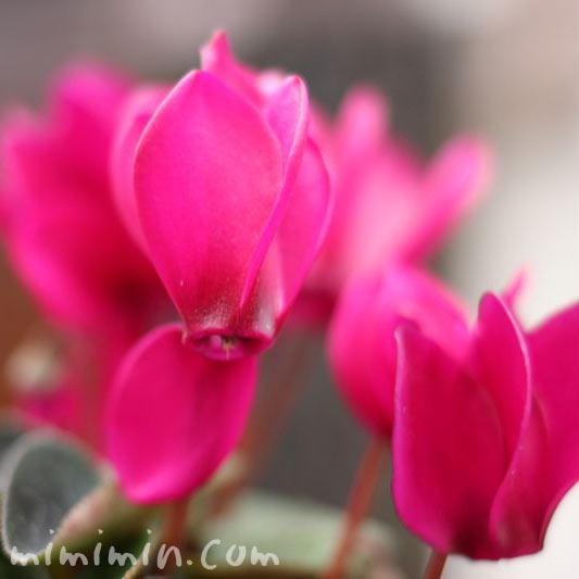 シクラメンの花(濃ピンク)の写真