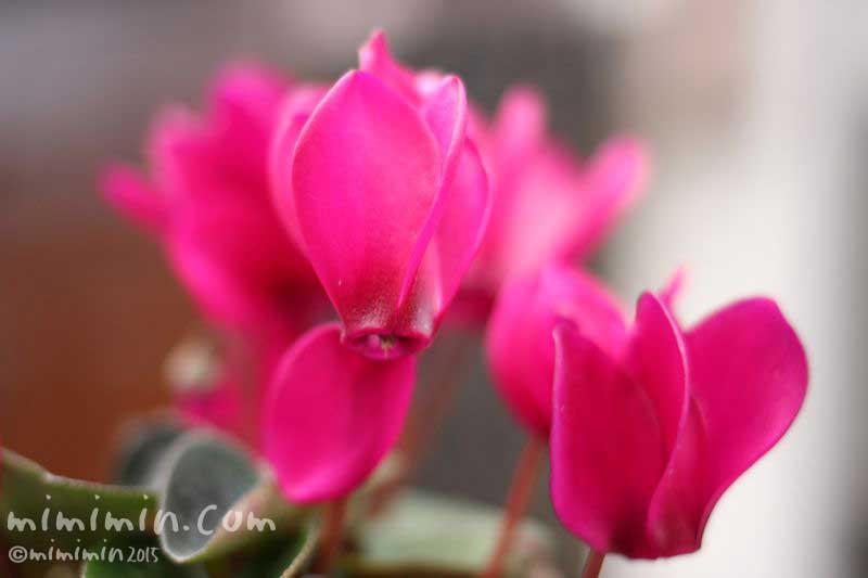 シクラメン(濃ピンク)の画像