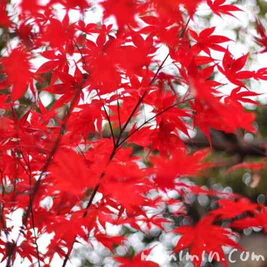 紅葉・モミジの写真