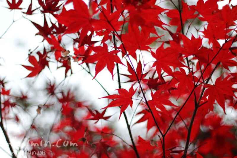 紅いモミジの写真
