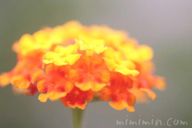 シチヘンゲ・オレンジ色