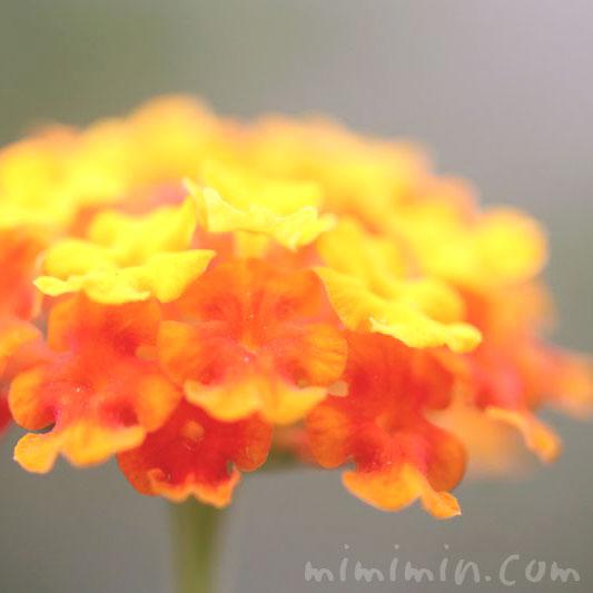 紅黄花の画像