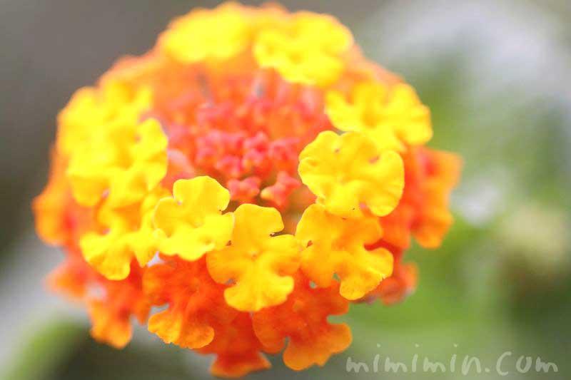 シチヘンゲの花・オレンジ色