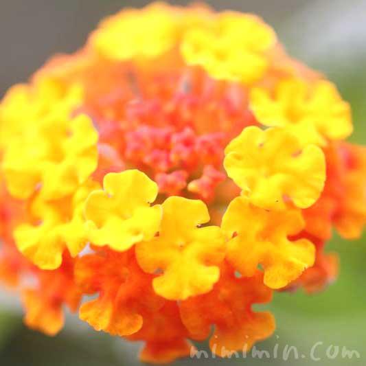 七変化の花・オレンジ色