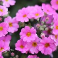 プリムラ マラコイデスの花(ピンク)の写真