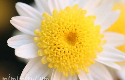 マーガレットの花・丁字咲きの画像