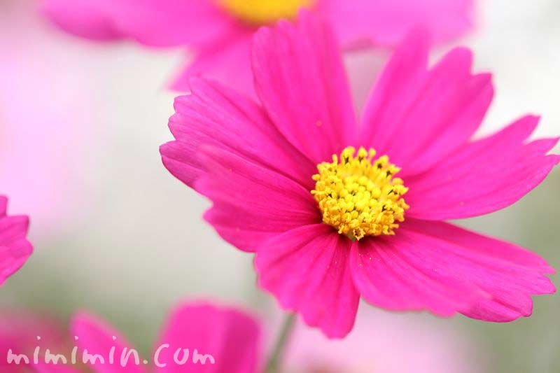 濃いピンク色のコスモスの写真