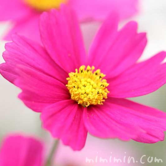 濃いピンク色のコスモスの花の画像