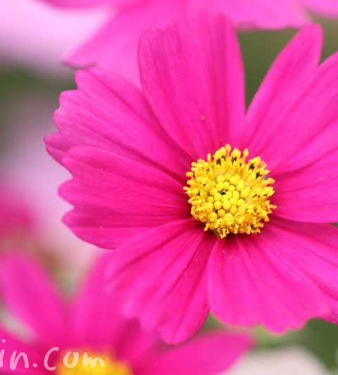 コスモス(秋桜)の花言葉・誕生花・ピンク色のコスモスの花の写真